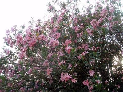 Adelfas rosas formando un seto