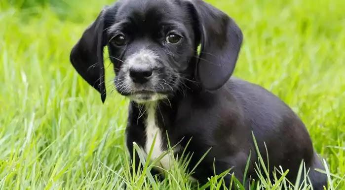 Bocker Dog Breed