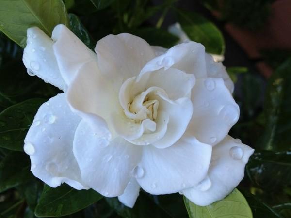 18 Manfaat Kacapiring Bagi Kesehatan Dan Kecantikan Kulit