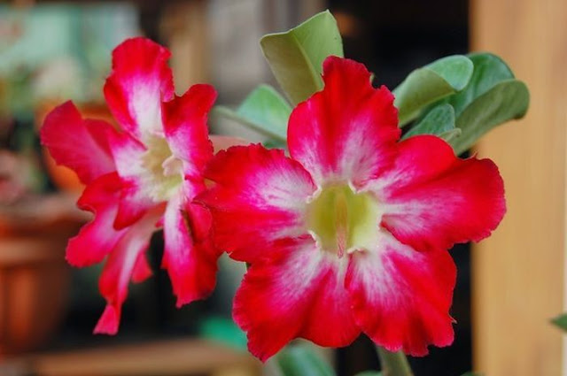 Tahu Kamboja Jepang? Ternyata Bunga Ini Bisa Dibuat Senjata yang Sangat Mematikan!