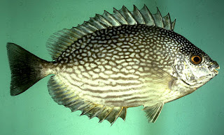 jenis ikan baronang