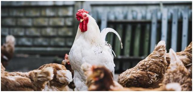 انتشار انفلونزا الطيور في السعودية