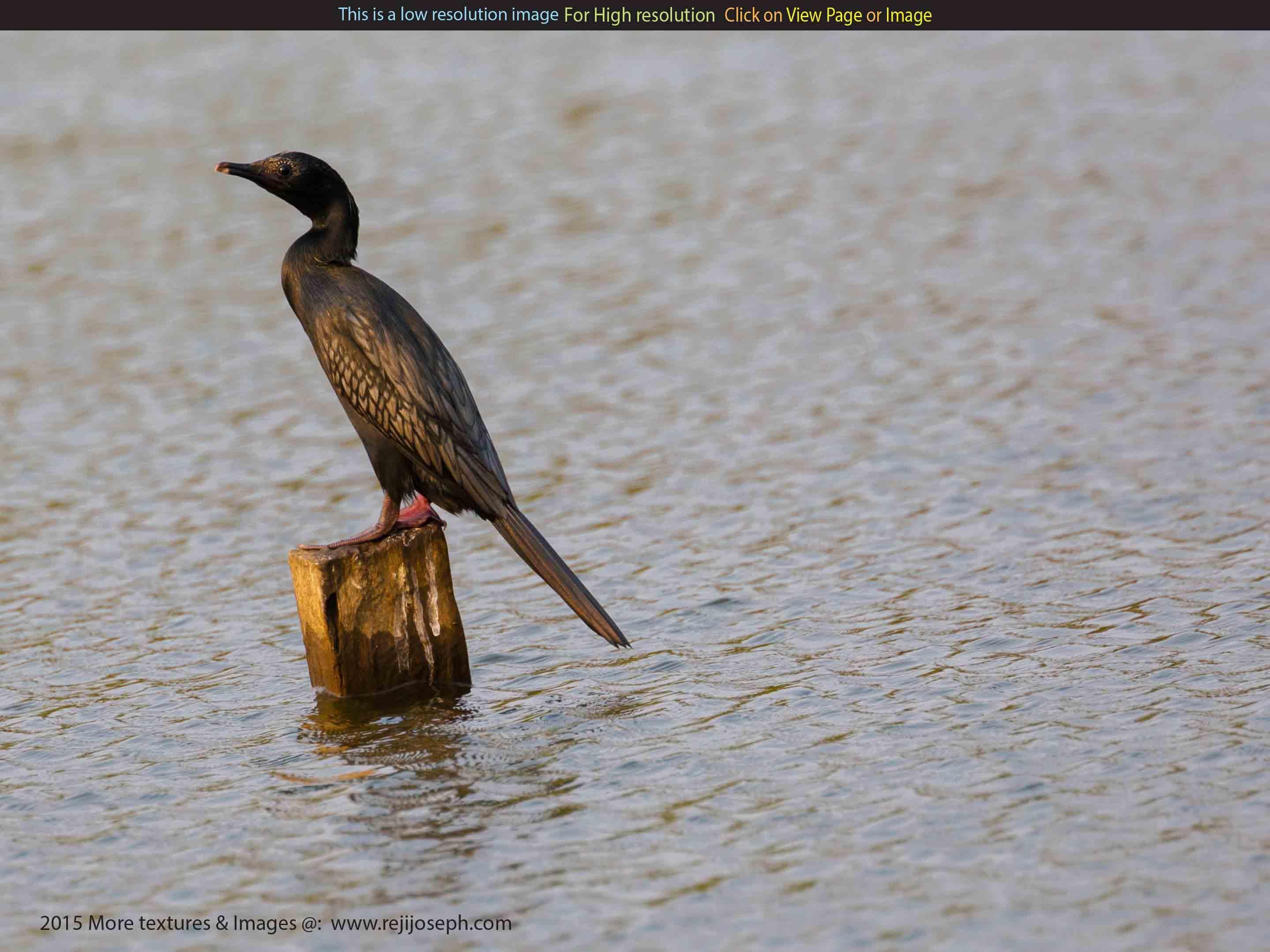Cormorant bird 00001