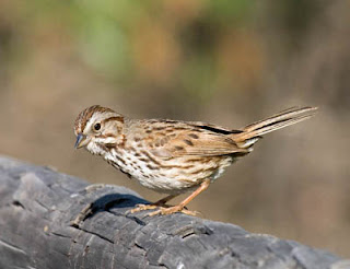 Photo of a Song Sparrow on a log
