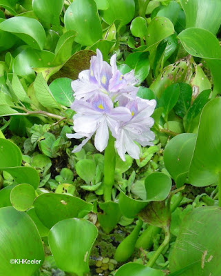 water hyacinth, Eichhornia crassipes