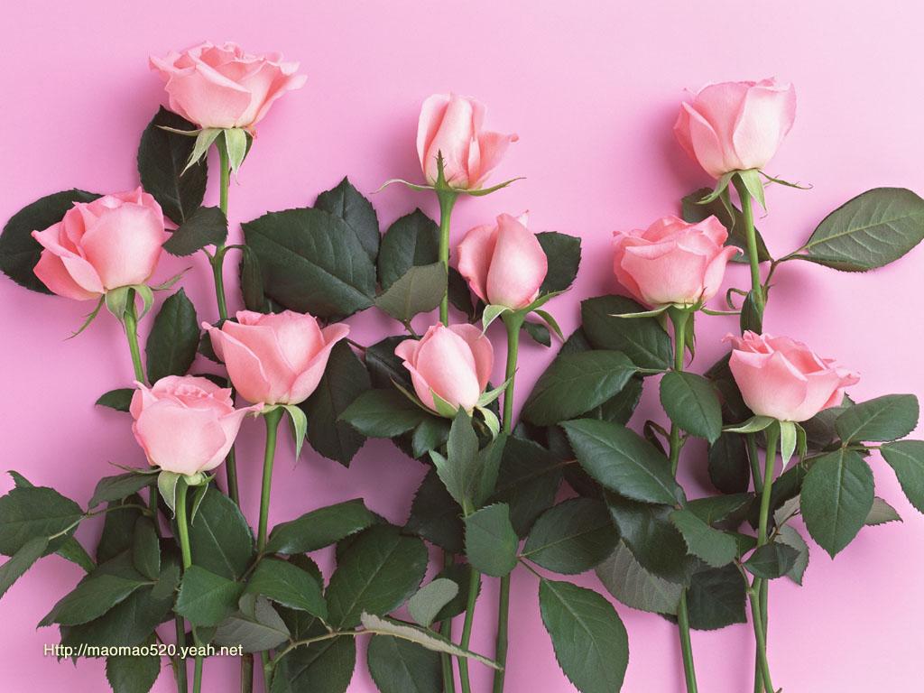 Desktop Wallpaper Collection Rose Wallpaper