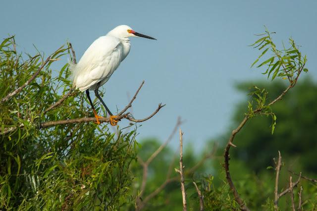 Snowy Egret, Smith Oaks Rookery