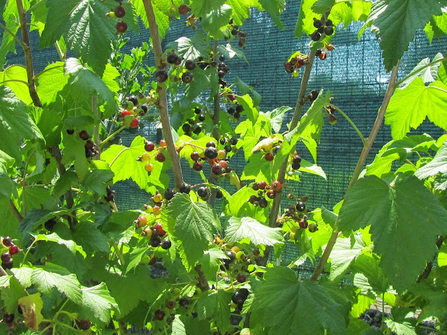 Ribes nigrum fruits