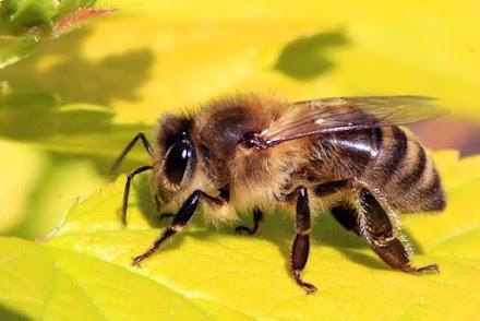 Πως η κλιματική αλλαγή επηρεάζει τις μέλισσες (video)