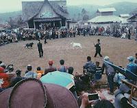 Tradisi Adu Domba