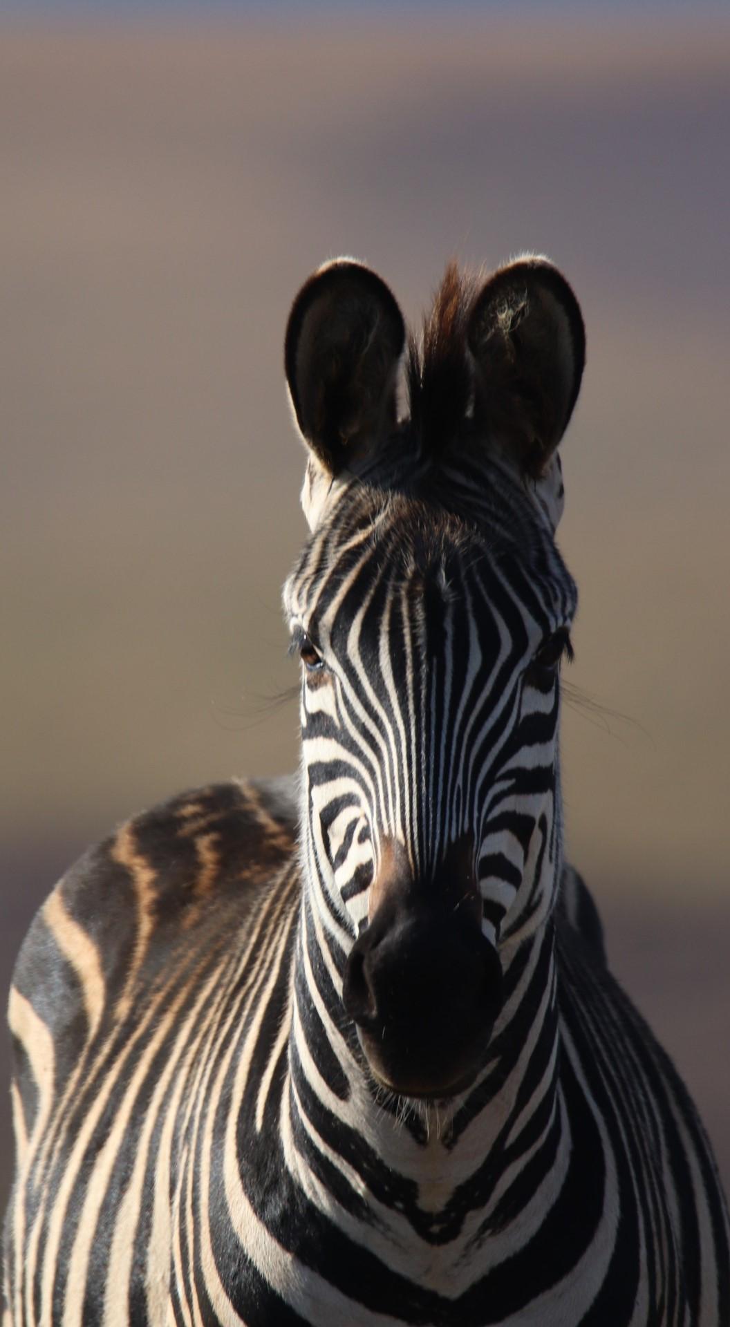 A majestic zebra stare.
