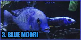 ikan blue moori
