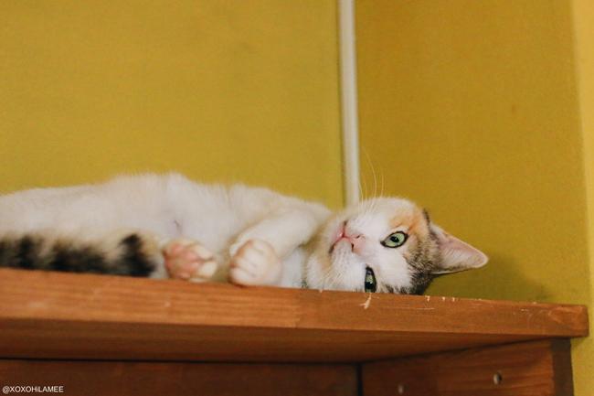 猫:保護猫カフェ ネコリパブリック 三毛猫