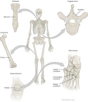 हड्डियों से जुड़े 27 मज़ेदार तथ्य, 27 fun facts related to bones | Haddiyon ke baare mein