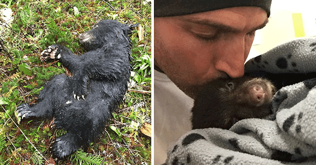 Спасая погибающего медвежонка, мужчина рисковал быть убитым медведицей или загреметь в тюрьму
