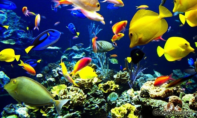 Spesies - spesies Ikan Hias Air Laut Pavorit