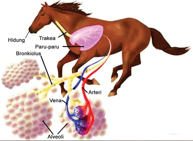 Sistem Pernapasan pada Mamalia