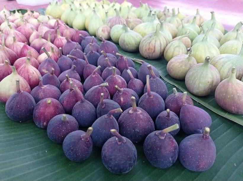 bibit tanaman buah tin aneka varian bibit dari induk yg sudah prodksi buah Metro