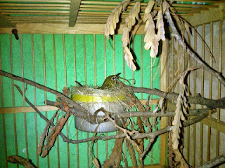 Penangkaran Burung Pleci - Breeding Burung Pleci Menggunakan Sangkar Gantung