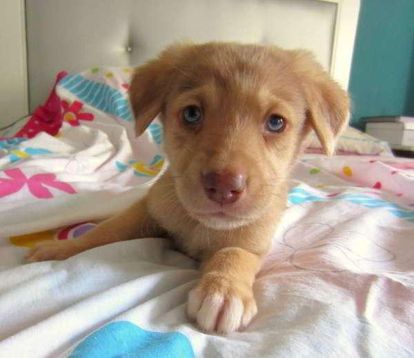 cachorro cruce pastor catalan