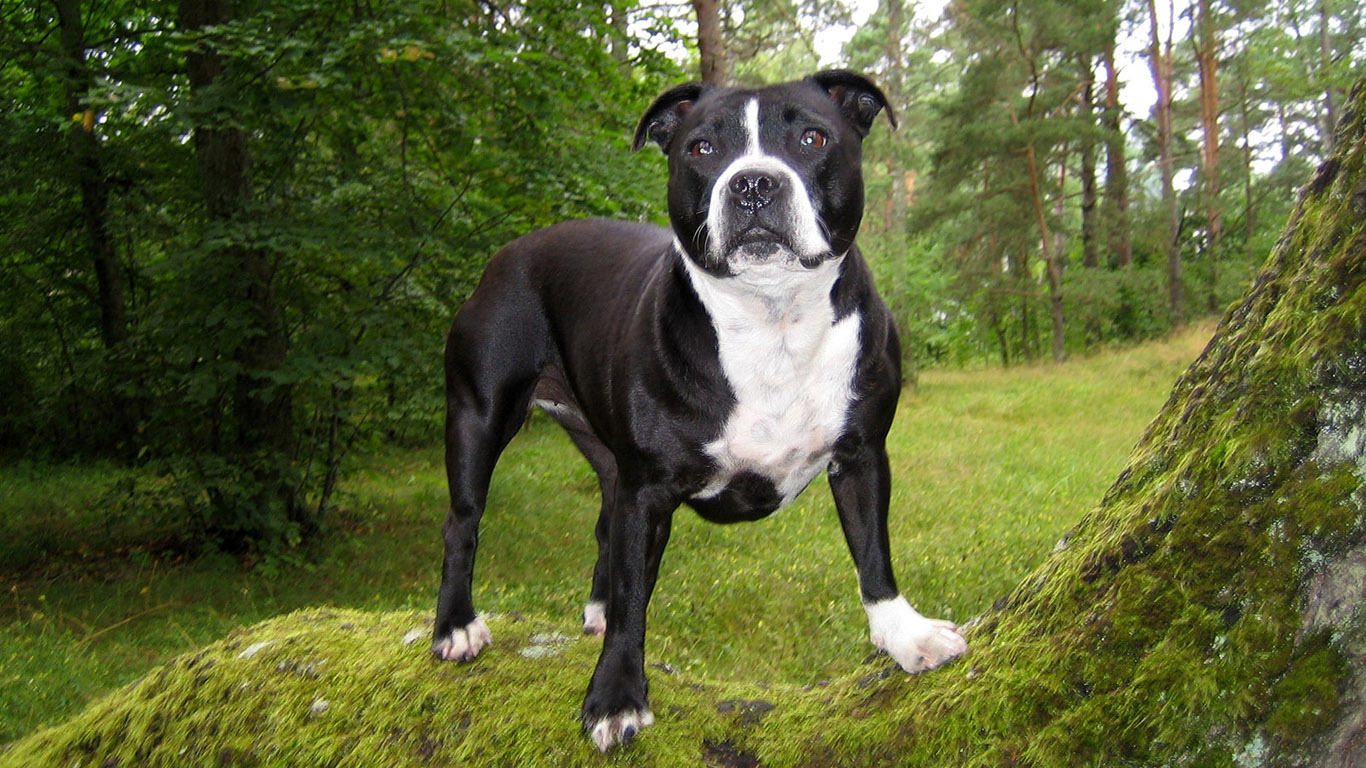 Gotta Love Dogs: The TRUE meaning of a Pittie