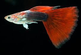 Gambar ikan Guppy Red Blonde