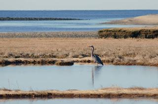 Blue heron wading in a tidal pool in a coastal marsh