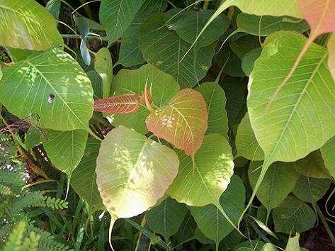 देशी-विदेशी झाडे : संशयकल्लोळ आणि निरसन