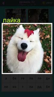 собака породы лайка белого цвета с красным листом на голове 22 уровень 667 слов