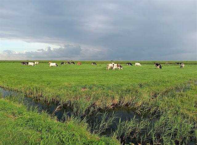 mucche al pascolo a Marken