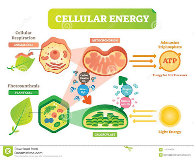 What Is Energy,energy Harvesting and Celluler Respiration?  TheZoology