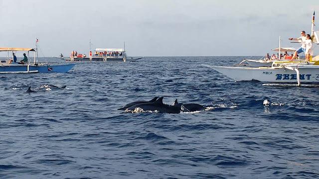 Dolphin Watching at Balicasag Island, Bohol