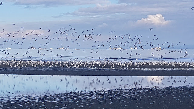 A gathering of gulls...