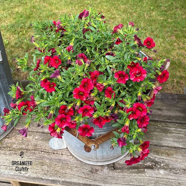 Photo of a red calibrachoa plant in a mop bucket