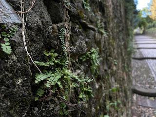 Maidenhair spleenwort on Via Noca, Bergamo.