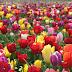 Những khu vườn hoa Tulip không thể bỏ qua tại Mỹ