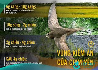 Khung giờ kiếm ăn của chim yến.