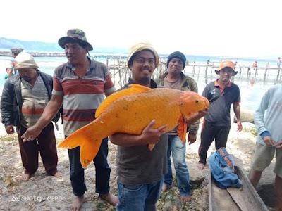 Penampakan ikan mas raksasa di danau toba