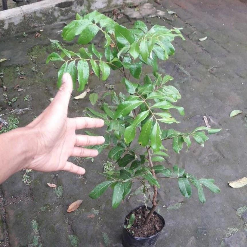 Original bibit Kelengkeng Matalada Hampir tanpa biji Cepat Berbuah Jawa Barat