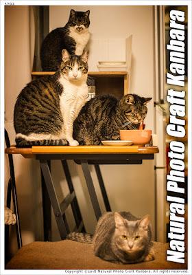 かんばら家の猫たちが自分たちの食卓周辺に集まった貴重なカットです