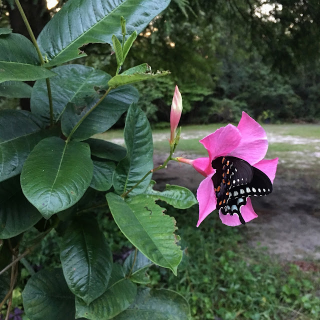 Mandevilla and Butterfly | Instagram Sunday Calm Features 25