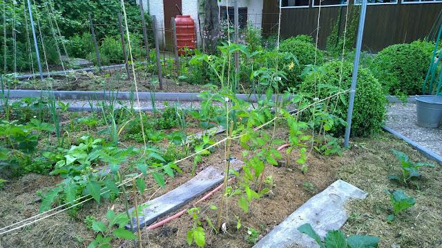 Tomaten im Freiland blühen (c) by Joachim Wenk