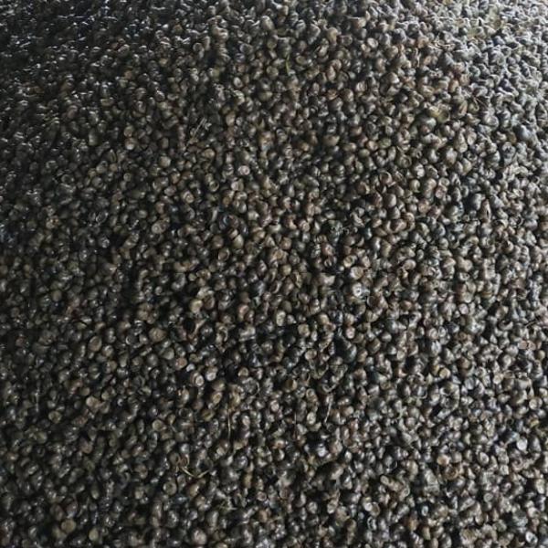 Con giống Ốc đắng, ốc ruộng nuôi tự nhiên chất lượng