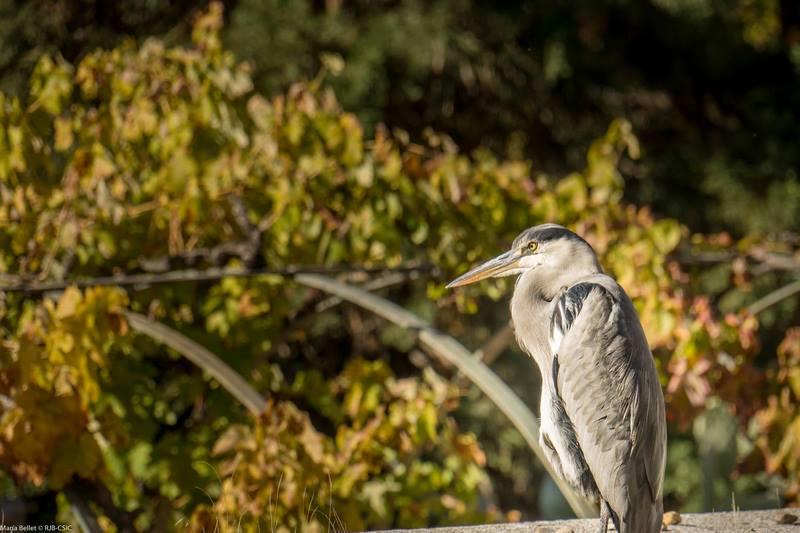 Aves en el jardín botánico de Madrid. garza real (Ardea cinerea)
