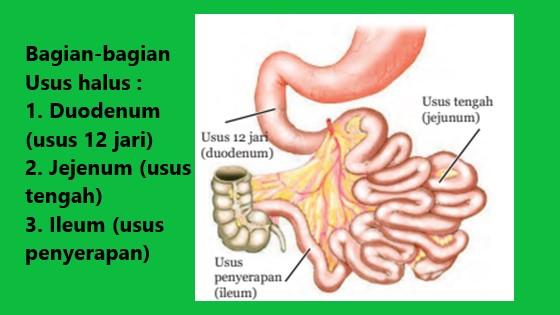 usus halus terdiri dari duodenum, jejenum dan ileum
