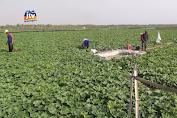 Puluhan Hektar Tanaman Semangka Terancam Gagal Panen