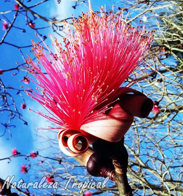 Flores rojas de la Carolina o Coquito, Pseudobombax ellipticum