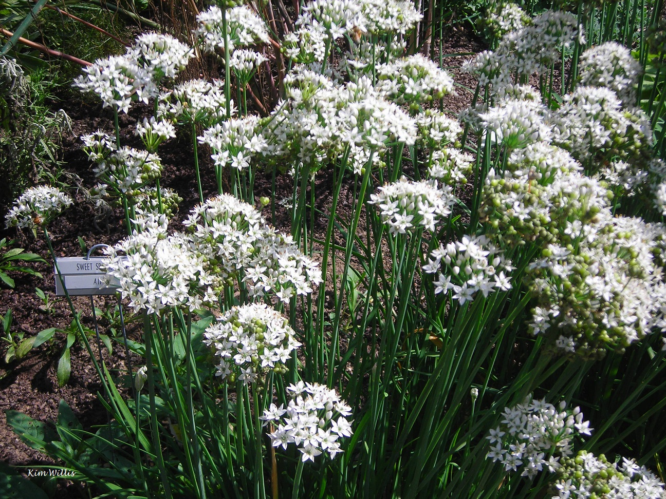 Small Flowered Alliums