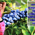 Eating Blueberries Daily can help lower blood pressure | How?