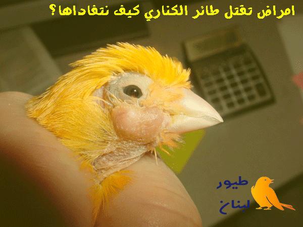 علاج جميع امراض طائر الكناري و غيره من طيور الزينة بالعشاب الطبيعية